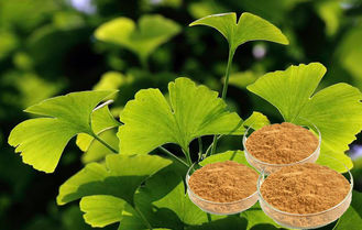 Standardization of Production USP40 Biloba Leaf Extract , Ginkgo Biloba Natural Powder